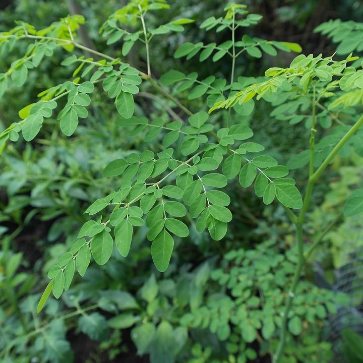 Moringa Baum Wunderbaum Meerrettichbaum Oleifera Blätter