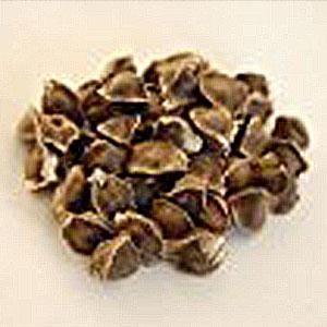 Moringa-Samen-kaufen-oleifera